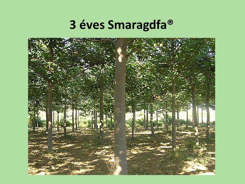 3 éves Smaragdfa®