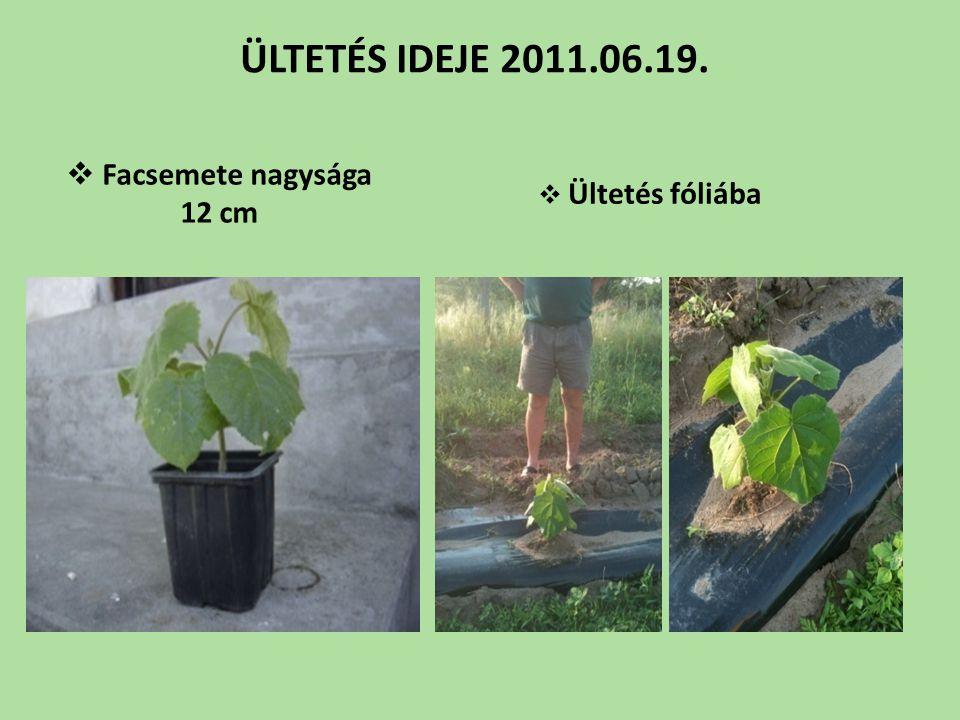  Facsemete nagysága 12 cm  Ültetés fóliába ÜLTETÉS IDEJE 2011.06.19.