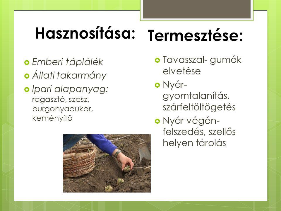 Hasznosítása:  Emberi táplálék  Állati takarmány  Ipari alapanyag: ragasztó, szesz, burgonyacukor, keményítő  Tavasszal- gumók elvetése  Nyár- gy