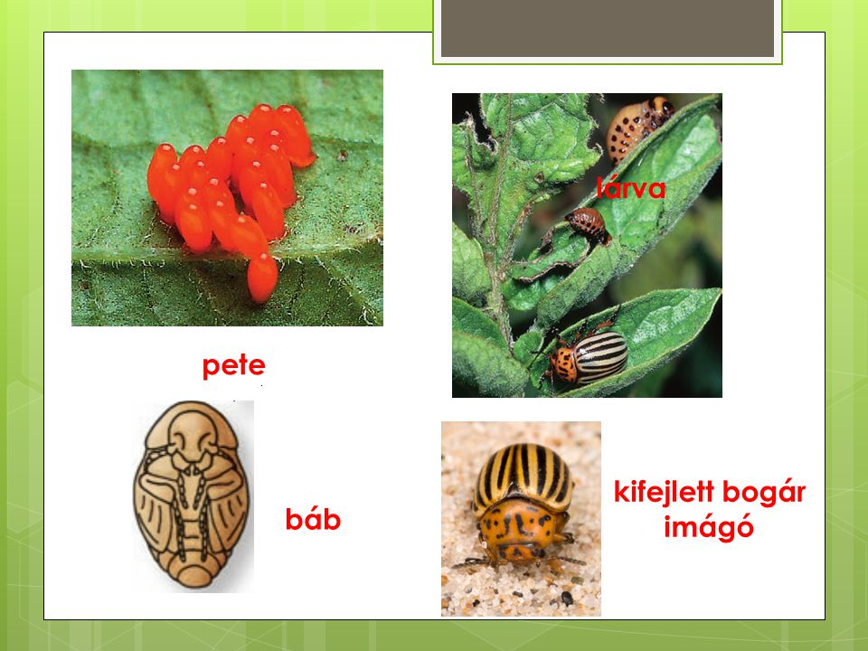 pete lárva báb kifejlett bogár imágó