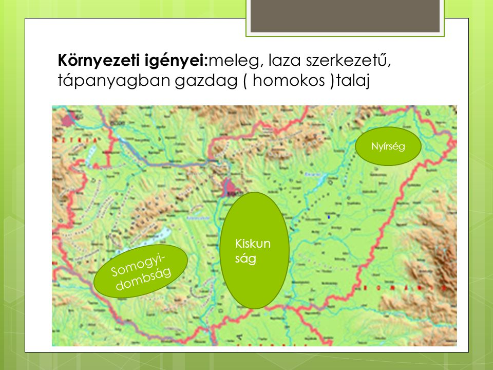 Környezeti igényei: meleg, laza szerkezetű, tápanyagban gazdag ( homokos )talaj Nyírség Kiskun ság Somogyi- dombság