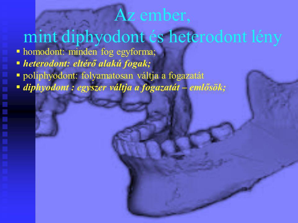 Az ember, mint diphyodont és heterodont lény  homodont: minden fog egyforma;  heterodont: eltérő alakú fogak;  poliphyodont: folyamatosan váltja a
