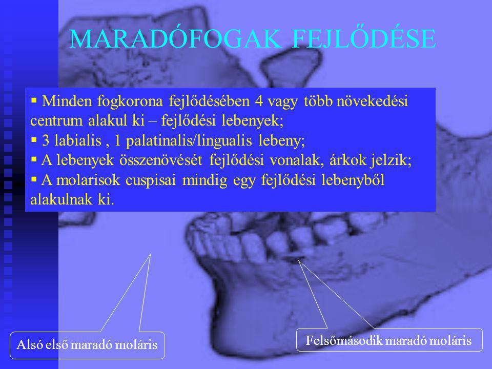 MARADÓFOGAK FEJLŐDÉSE  Minden fogkorona fejlődésében 4 vagy több növekedési centrum alakul ki – fejlődési lebenyek;  3 labialis, 1 palatinalis/lingu