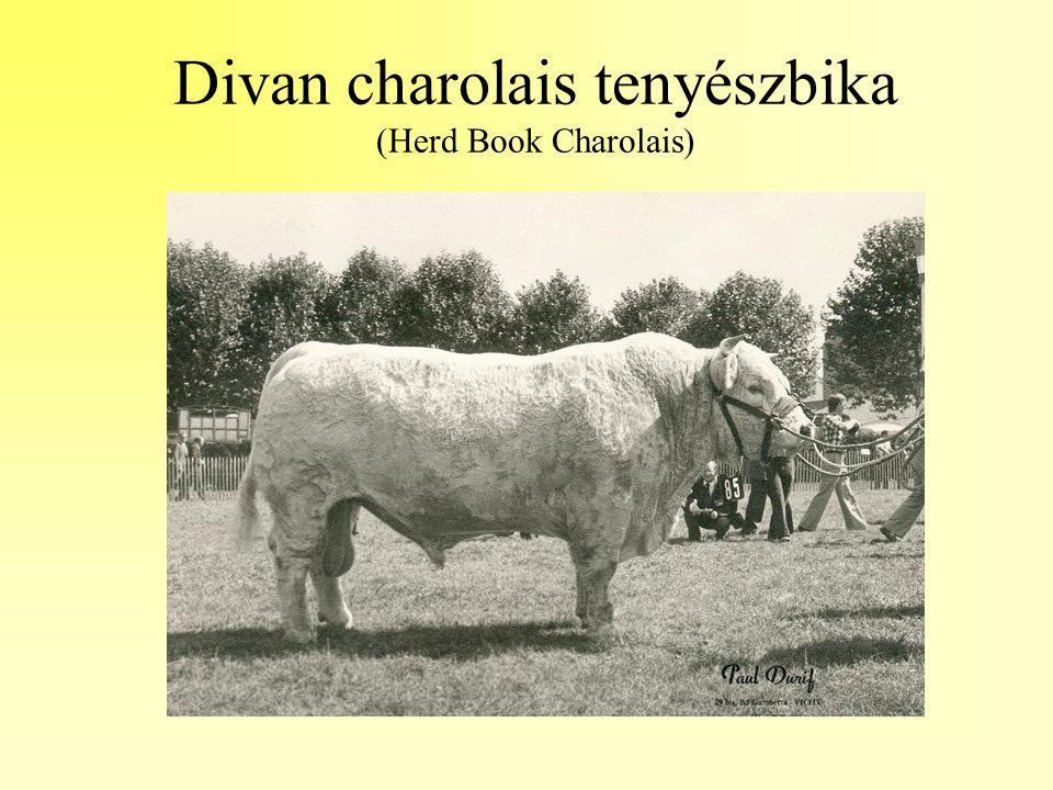 Divan charolais tenyészbika (Herd Book Charolais)