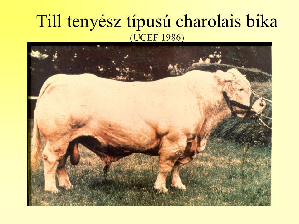 Till tenyész típusú charolais bika (UCEF 1986)