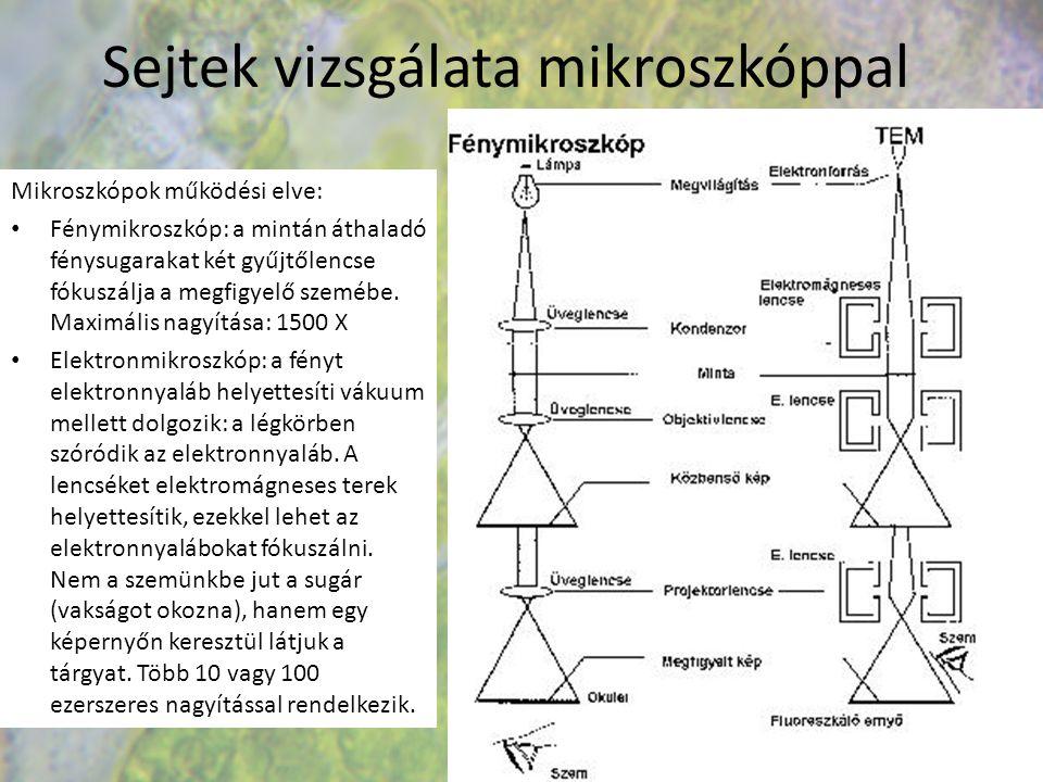 Eukarióta sejt, állandó sejtalkotók Az eukarióta sejtek mérete:10-100 mikrométer.