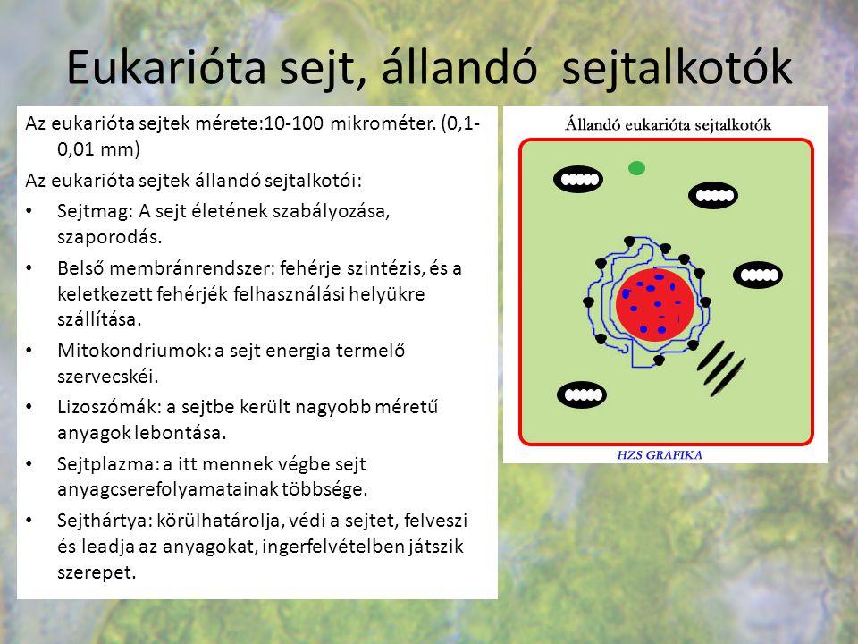 Eukarióta sejt, állandó sejtalkotók Az eukarióta sejtek mérete:10-100 mikrométer. (0,1- 0,01 mm) Az eukarióta sejtek állandó sejtalkotói: Sejtmag: A s