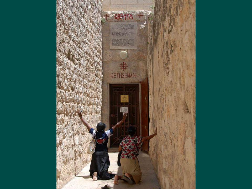 Ghechemáni kert olajfái, melyek közé Jézus visszavonult Júdás árulásakor