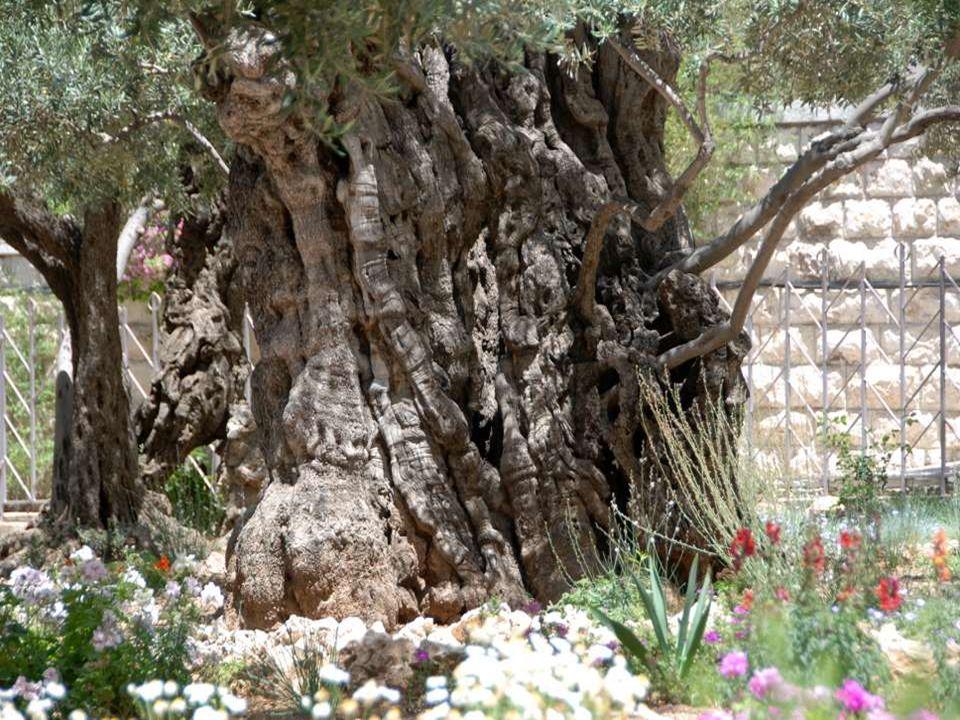 Ennek az olajfának a korát több mint kétezer évesnek tartják