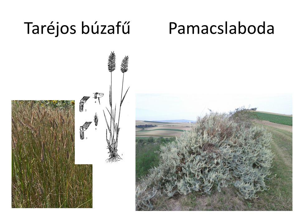 Taréjos búzafű Pamacslaboda