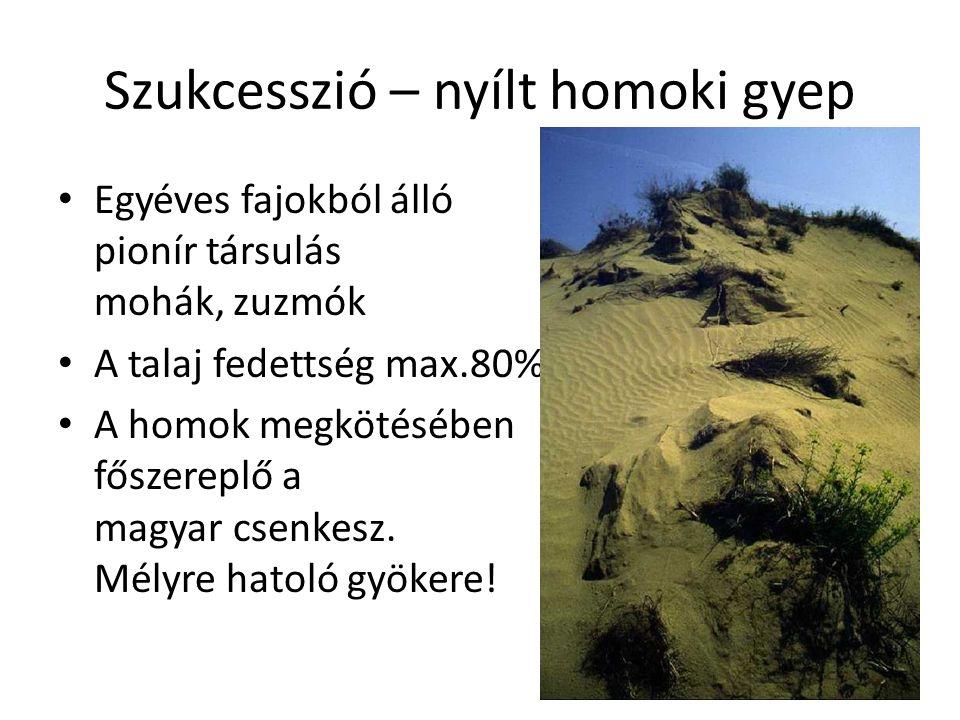 Szukcesszió – nyílt homoki gyep Egyéves fajokból álló pionír társulás mohák, zuzmók A talaj fedettség max.80% A homok megkötésében főszereplő a magyar