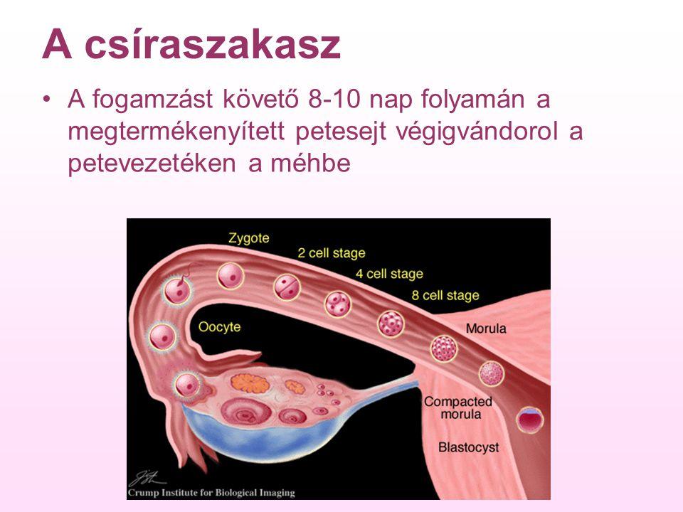 A csíraszakasz A fogamzást követő 8-10 nap folyamán a megtermékenyített petesejt végigvándorol a petevezetéken a méhbe