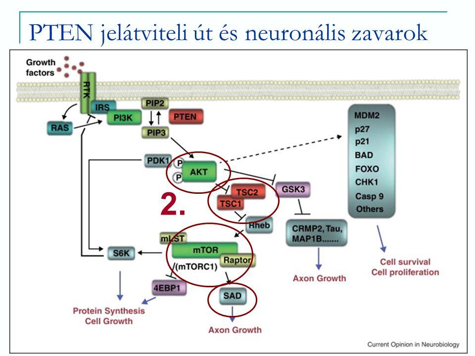 PTEN jelátviteli út és neuronális zavarok 2.