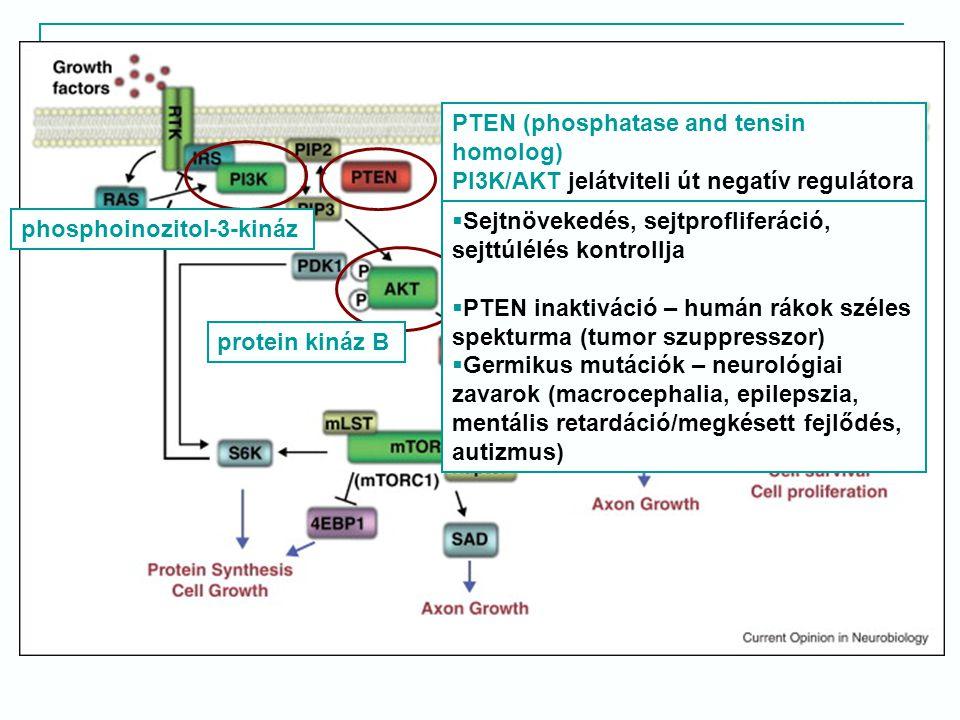  Sejtnövekedés, sejtprofliferáció, sejttúlélés kontrollja  PTEN inaktiváció – humán rákok széles spekturma (tumor szuppresszor)  Germikus mutációk