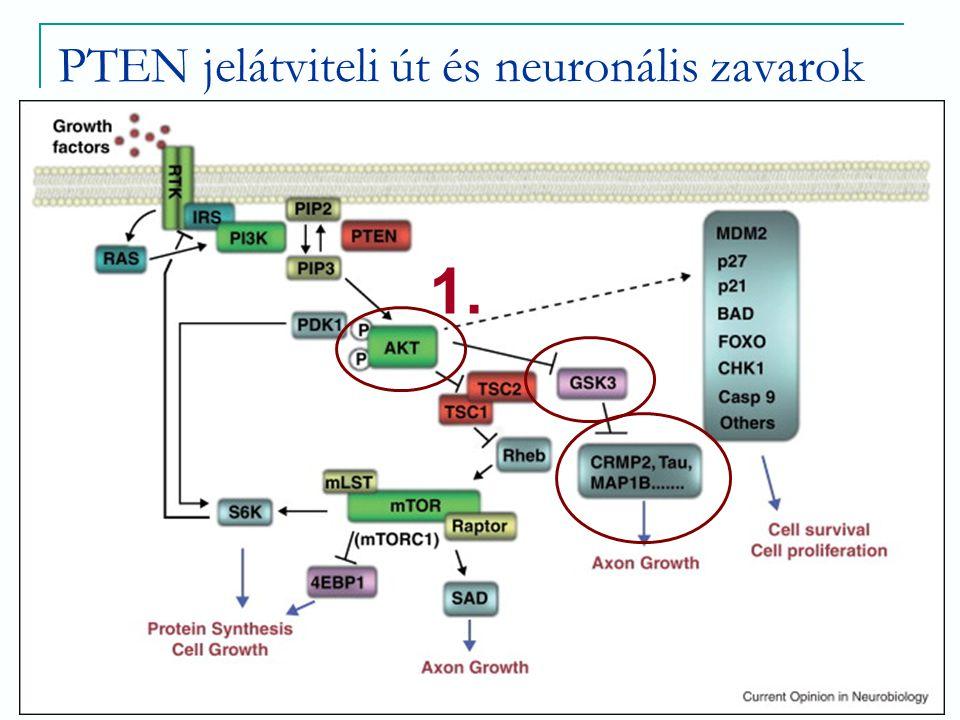PTEN jelátviteli út és neuronális zavarok AKT→ GSK3 (glikogén szintáz kináz 3) inhibitora  Axon formáció (mikrotubulus-binding proteinek – Tau, CRMP2, MAP1B)  Intracelluláris jelátviteli folyamatok – neurogenesis, neuron migráció, polaritás mediálása  Szerep számos neurológiai zavarban (AD, SCH, ASD)  Valószínűsíthető alternatív inaktivációs mechanizmusok jelentősége