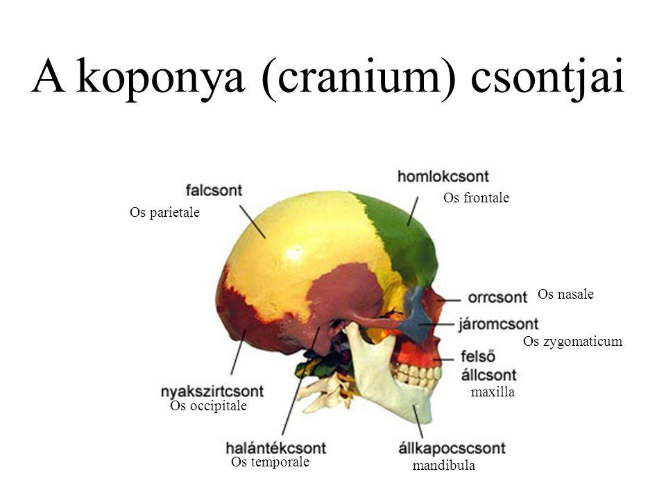 Os frontale Os parietale Os occipitale Os temporale mandibula maxilla A koponya (cranium) csontjai Os zygomaticum Os nasale