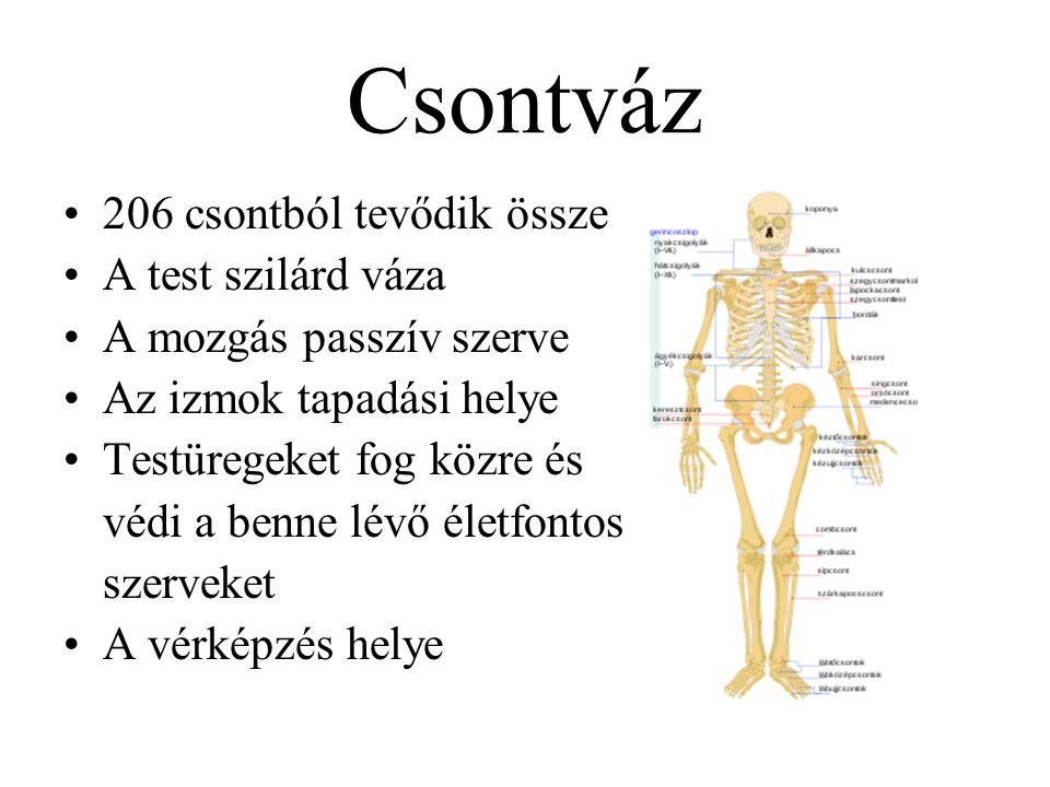 Csontváz 206 csontból tevődik össze A test szilárd váza A mozgás passzív szerve Az izmok tapadási helye Testüregeket fog közre és védi a benne lévő életfontos szerveket A vérképzés helye