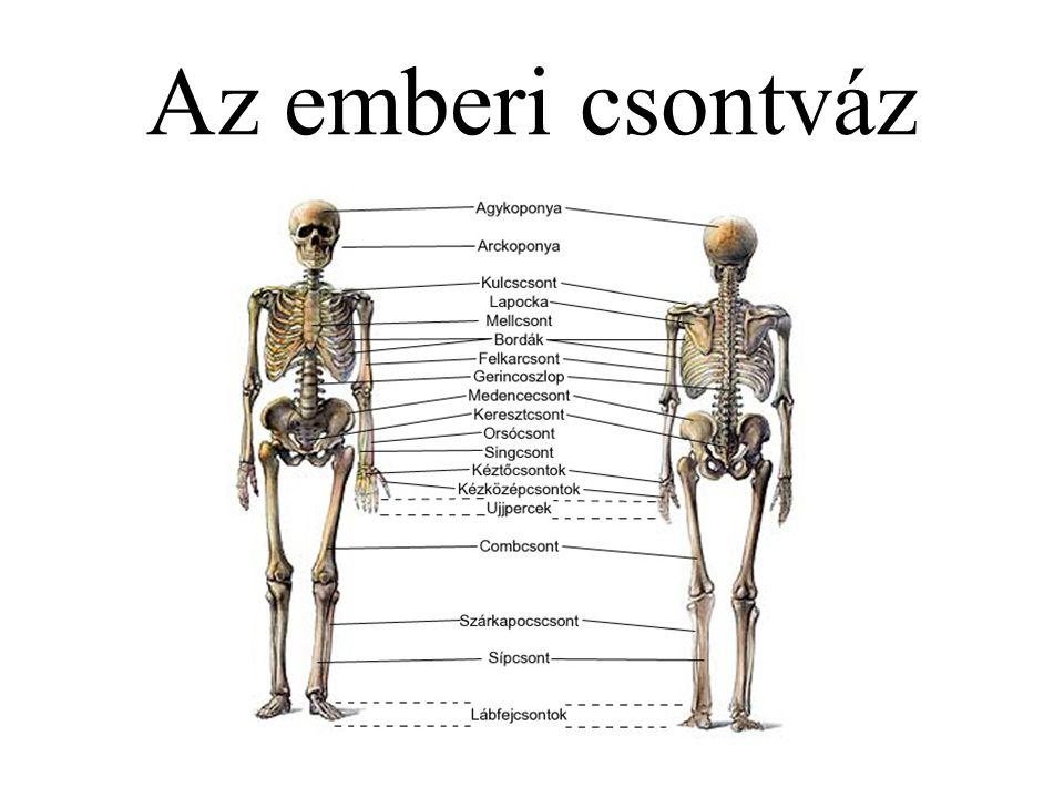 A csontok szerkezete Külső – kompakt állomány Belső – szivacsos állomány Alak szerint: –Hosszú csöves csontok –Rövid csöves csontok –Lapos csontok –Köbös v.