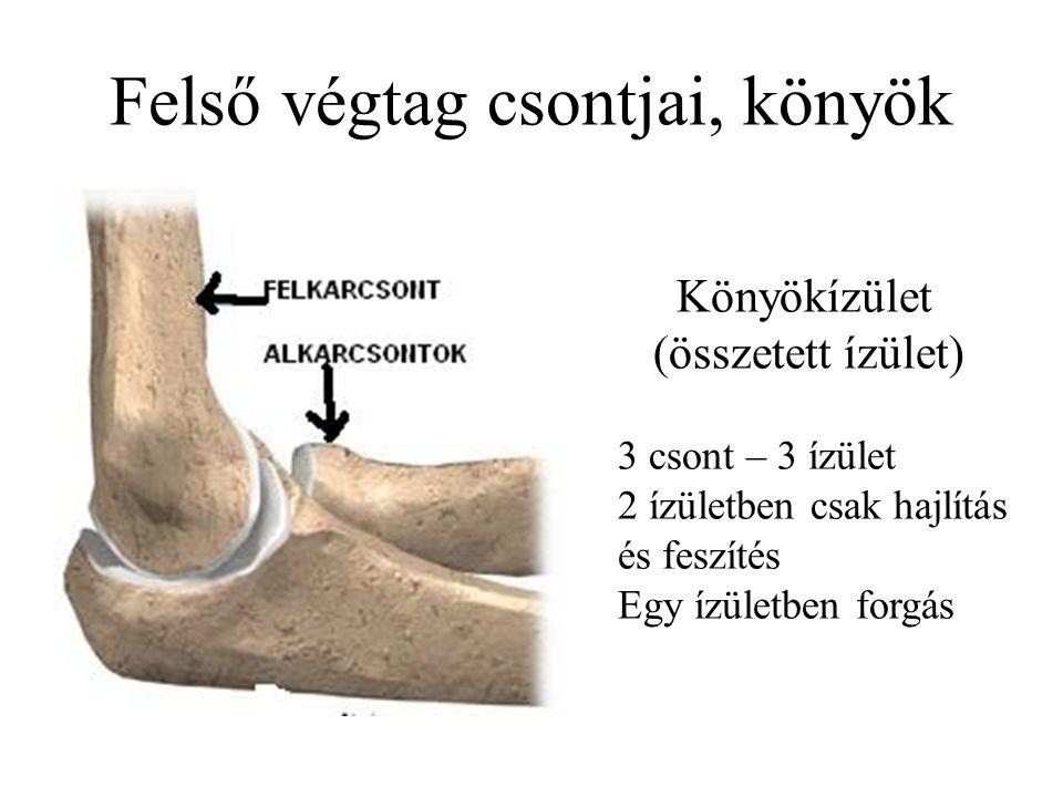 Felső végtag csontjai, könyök Könyökízület (összetett ízület) 3 csont – 3 ízület 2 ízületben csak hajlítás és feszítés Egy ízületben forgás