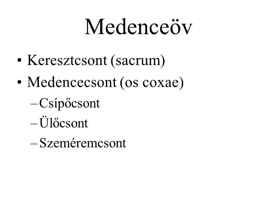 Medenceöv Keresztcsont (sacrum) Medencecsont (os coxae) –Csípőcsont –Ülőcsont –Szeméremcsont