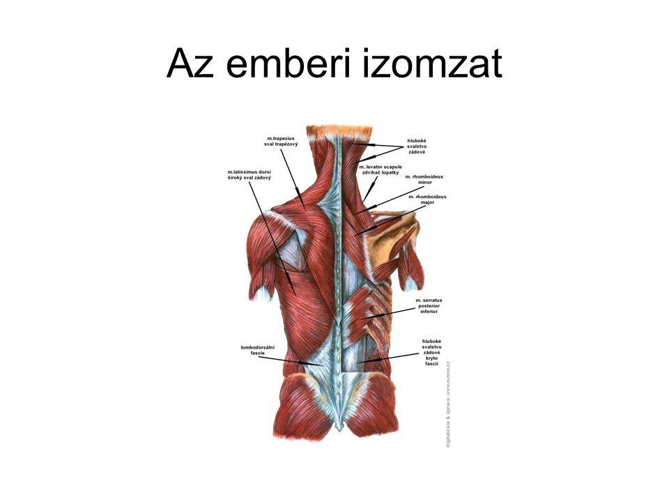 A mozgássegmentum Csigolyatest fedőlemezei,a porckorong,az elülső és hátso szalagok,csigolyivek, a csigolyák közötti kisizületek, a gerinc melleti izomzat A segmentum akkor stabil, ha minden eleme minden természetes testtartásban megtartja az egységét.