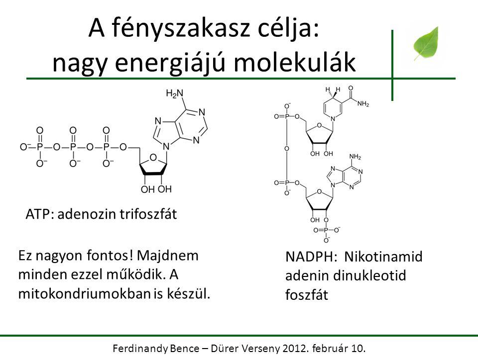 Ferdinandy Bence – Dürer Verseny 2012. február 10. A fényszakasz célja: nagy energiájú molekulák ATP: adenozin trifoszfát NADPH: Nikotinamid adenin di