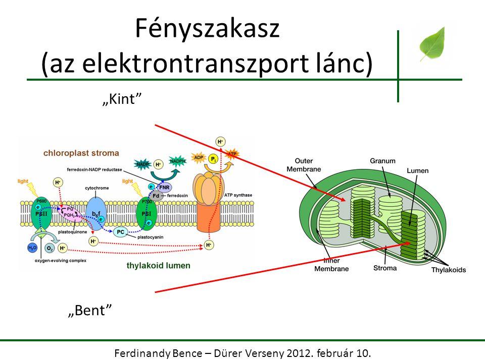 """Ferdinandy Bence – Dürer Verseny 2012. február 10. Fényszakasz (az elektrontranszport lánc) """"Kint"""" """"Bent"""""""