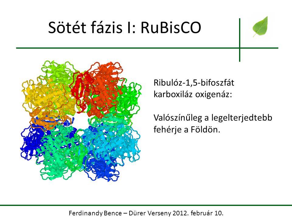 Ferdinandy Bence – Dürer Verseny 2012. február 10. Sötét fázis I: RuBisCO Ribulóz-1,5-bifoszfát karboxiláz oxigenáz: Valószínűleg a legelterjedtebb fe