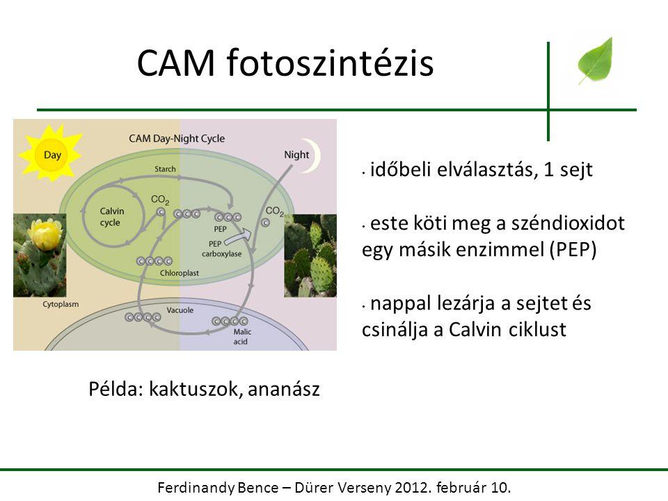 Ferdinandy Bence – Dürer Verseny 2012. február 10. CAM fotoszintézis időbeli elválasztás, 1 sejt este köti meg a széndioxidot egy másik enzimmel (PEP)