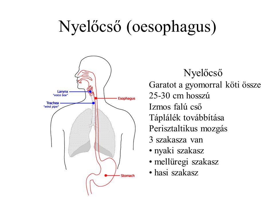 Nyelőcső (oesophagus) Nyelőcső Garatot a gyomorral köti össze 25-30 cm hosszú Izmos falú cső Táplálék továbbítása Perisztaltikus mozgás 3 szakasza van