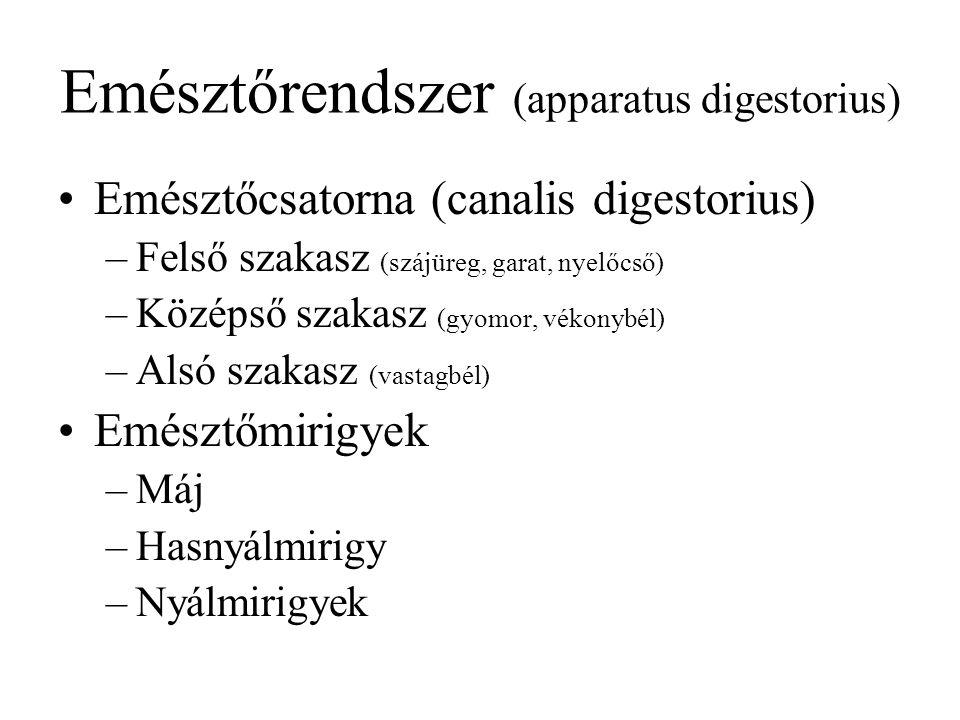 Emésztőrendszer (apparatus digestorius) Emésztőcsatorna (canalis digestorius) –Felső szakasz (szájüreg, garat, nyelőcső) –Középső szakasz (gyomor, vék