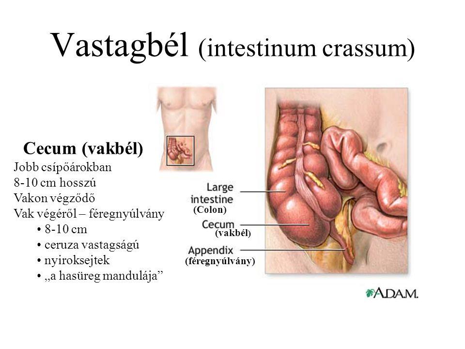 Vastagbél (intestinum crassum) (Colon) (vakbél ) (féregnyúlvány) Cecum (vakbél) Jobb csípőárokban 8-10 cm hosszú Vakon végződő Vak végéről – féregnyúl