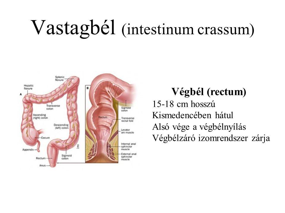 Vastagbél (intestinum crassum) Végbél (rectum) 15-18 cm hosszú Kismedencében hátul Alsó vége a végbélnyílás Végbélzáró izomrendszer zárja