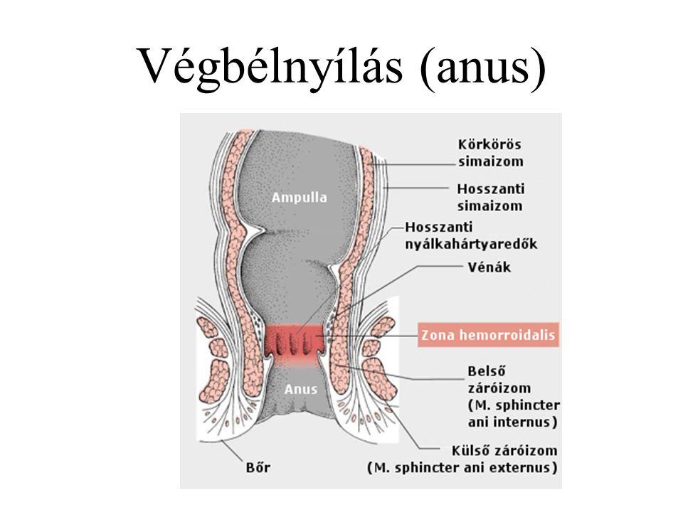 Végbélnyílás (anus)