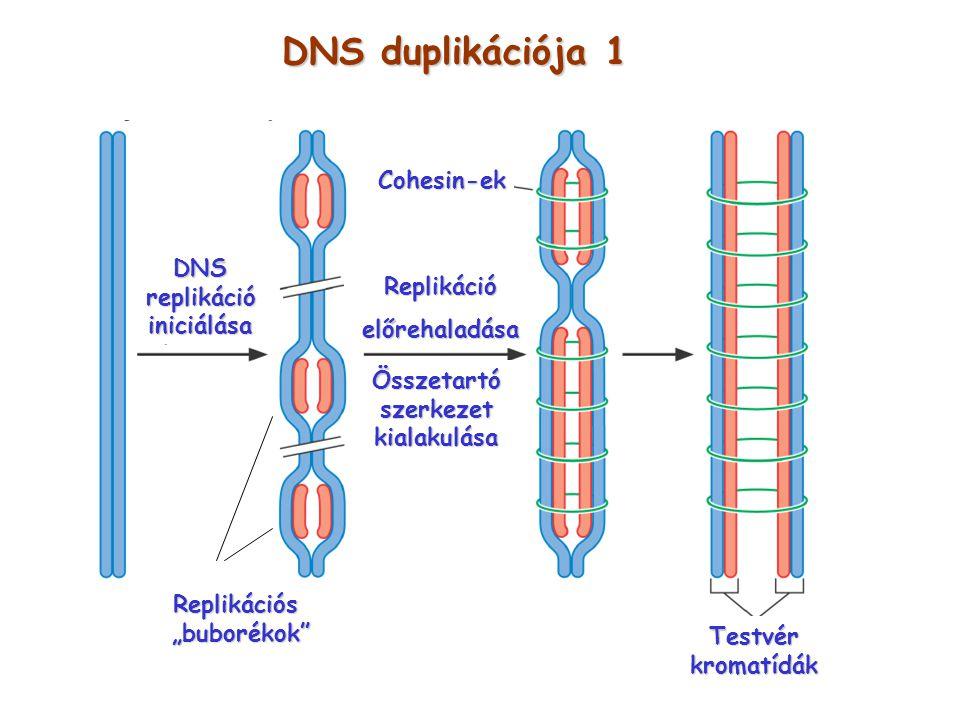"""DNS duplikációja 1 DNSreplikációiniciálása Replikációs """"buborékok"""" """"buborékok"""" Replikációelőrehaladása Összetartószerkezetkialakulása Cohesin-ek Testv"""
