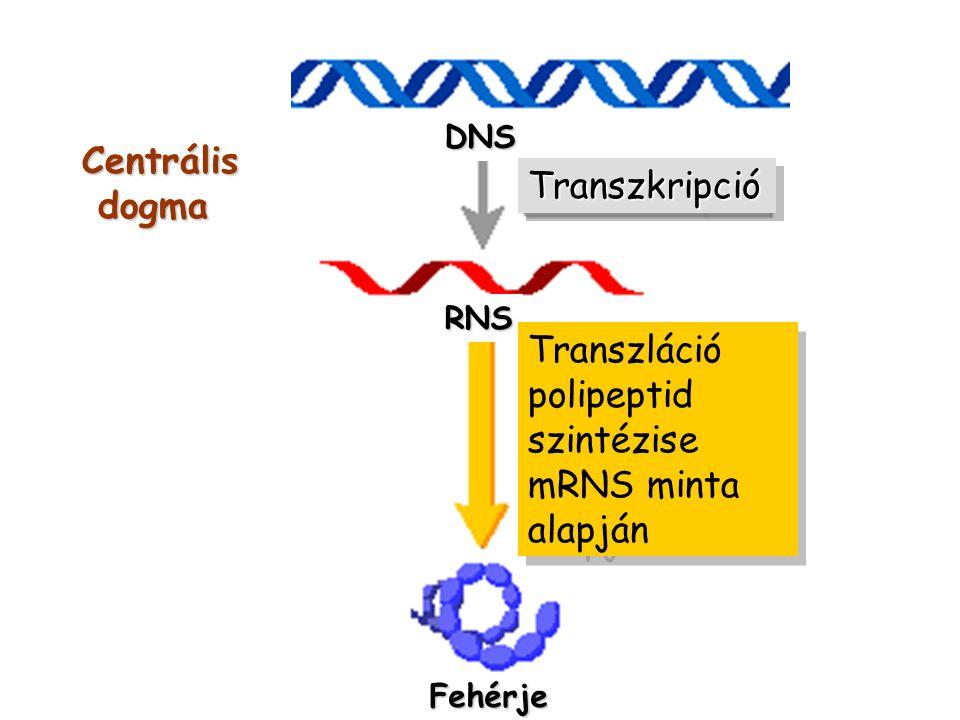 DNS RNS Fehérje TranszkripcióTranszkripció Transzláció polipeptid szintézise mRNS minta alapján Transzláció polipeptid szintézise mRNS minta alapján C