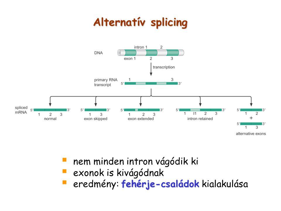 Alternatív splicing  nem minden intron vágódik ki  exonok is kivágódnak fehérje-családok  eredmény: fehérje-családok kialakulása
