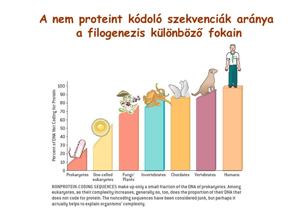 A nem proteint kódoló szekvenciák aránya a filogenezis különböző fokain