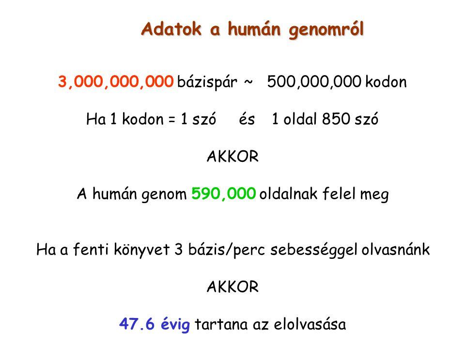 Adatok a humán genomról 3,000,000,000 bázispár ~ 500,000,000 kodon Ha 1 kodon = 1 szó és 1 oldal 850 szó AKKOR A humán genom 590,000 oldalnak felel me