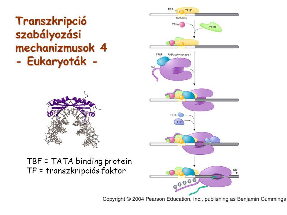 TBF = TATA binding protein TF = transzkripciós faktor Transzkripciószabályozási mechanizmusok 4 - Eukaryoták -