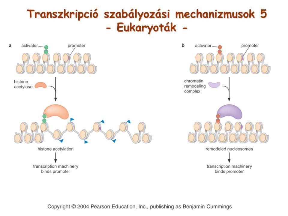 Transzkripció szabályozási mechanizmusok 5 - Eukaryoták -