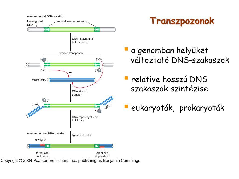 Transzpozonok  a genomban helyüket változtató DNS-szakaszok  relatíve hosszú DNS szakaszok szintézise  eukaryoták, prokaryoták