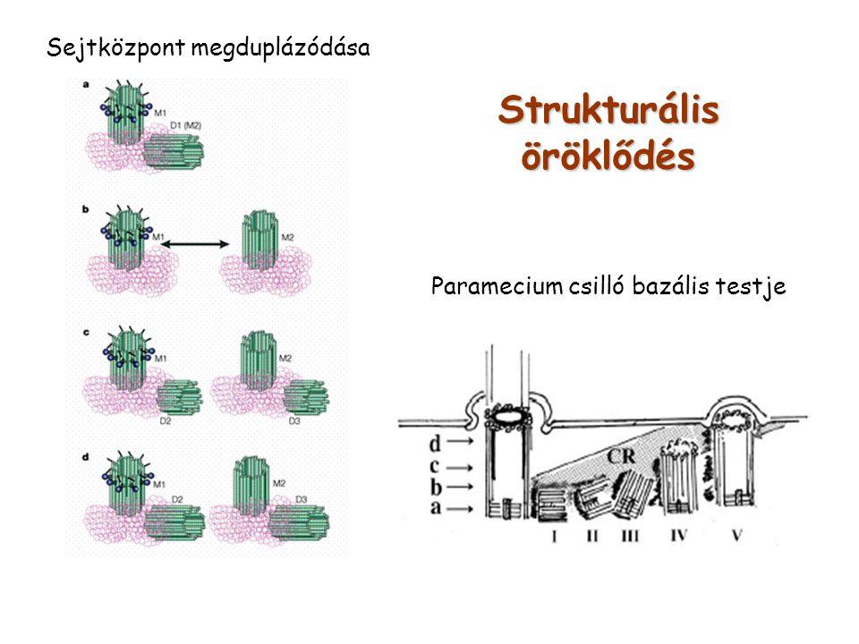 Strukturális öröklődés Paramecium csilló bazális testje Sejtközpont megduplázódása