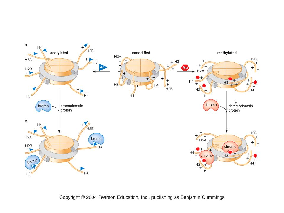 Metilációs mintázat CpG szigeteken géncsendesítés Eredménye géncsendesítés