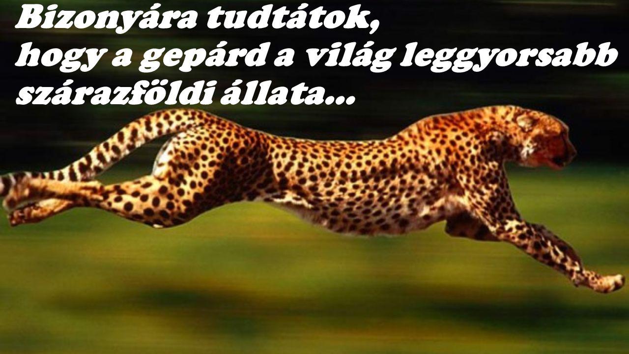 Bizonyára tudtátok, hogy a gepárd a világ leggyorsabb szárazföldi állata…