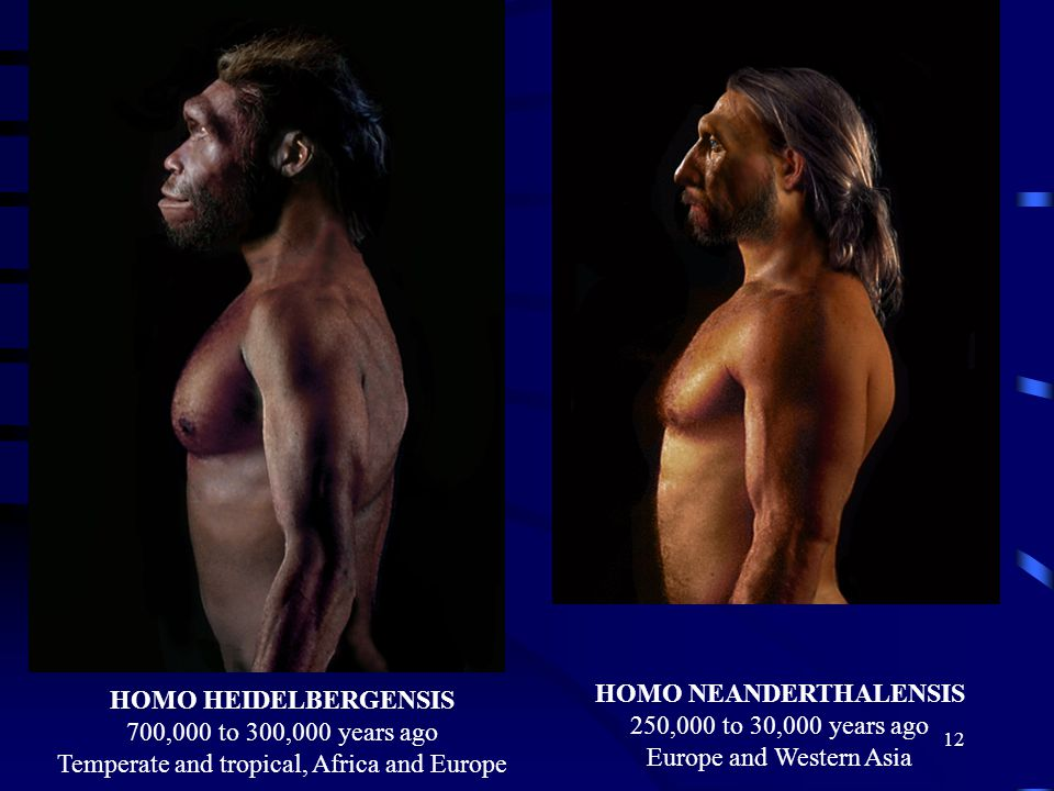 12 HOMO HEIDELBERGENSIS 700,000 to 300,000 years ago Temperate and tropical, Africa and Europe HOMO NEANDERTHALENSIS 250,000 to 30,000 years ago Europe and Western Asia
