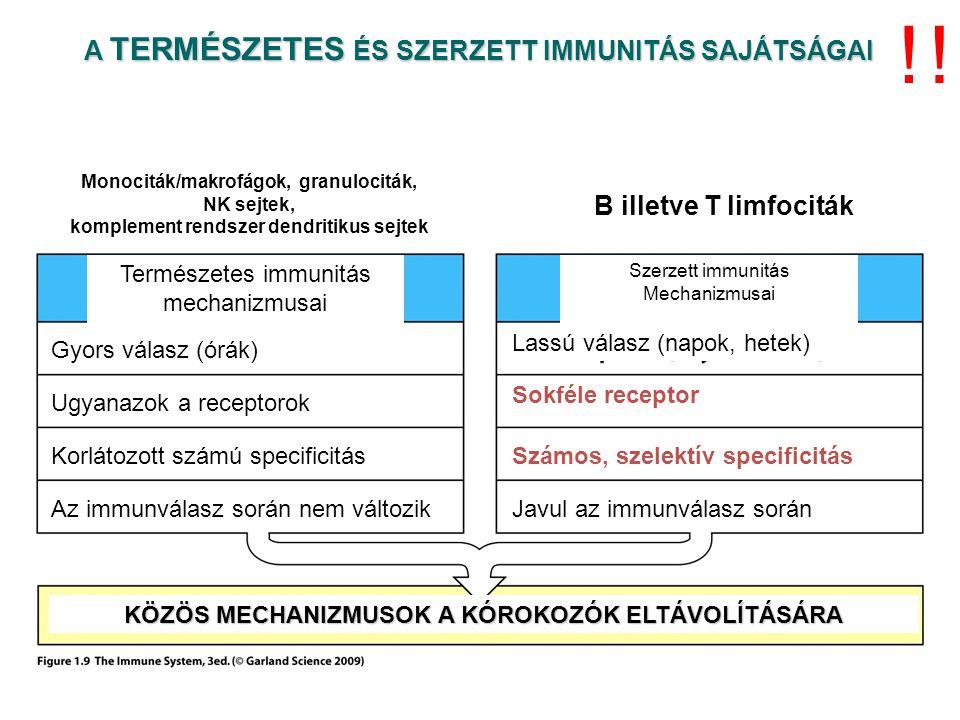 A TERMÉSZETES ÉS SZERZETT IMMUNITÁS SAJÁTSÁGAI Természetes immunitás mechanizmusai Szerzett immunitás Mechanizmusai Gyors válasz (órák) Lassú válasz (napok, hetek) Ugyanazok a receptorok Sokféle receptor Korlátozott számú specificitásSzámos, szelektív specificitás Az immunválasz során nem változikJavul az immunválasz során KÖZÖS MECHANIZMUSOK A KÓROKOZÓK ELTÁVOLÍTÁSÁRA !.