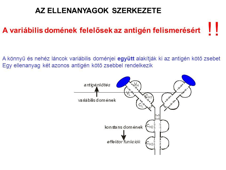 AZ ELLENANYAGOK SZERKEZETE A variábilis domének felelősek az antigén felismerésért A könnyű és nehéz láncok variábilis doménjei együtt alakítják ki az
