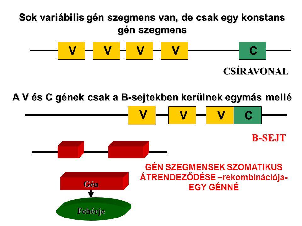 Sok variábilis gén szegmens van, de csak egy konstans gén szegmens VCVVVCSÍRAVONAL A V és C gének csak a B-sejtekben kerülnek egymás mellé C V VV B-SE