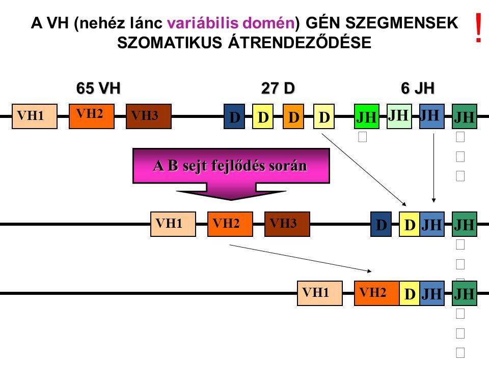 A B sejt fejlődés során 65 VH 6 JH VH1VH3 DJH 27 D DDD JH DD A VH (nehéz lánc variábilis domén) GÉN SZEGMENSEK SZOMATIKUS ÁTRENDEZŐDÉSE DD VH1VH2VH3 VH1VH2 JH !
